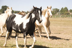 Heard of Horses. A heard of horses running through a pasture Stock Image