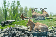 Heard of Ibex. A heard for Ibex (mountain sheep) sitting on a hill Royalty Free Stock Image