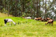 Heard Of Lama Royalty Free Stock Photos