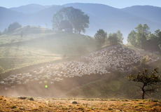 Heard of sheep in foggy morning in autumn mountains Royalty Free Stock Image