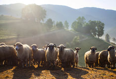 Heard of sheep in foggy morning in autumn mountains Stock Images