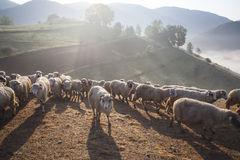 Heard of sheep in foggy morning in autumn mountains Royalty Free Stock Photography