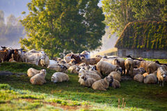 Heard of sheep in foggy morning in autumn mountains Royalty Free Stock Photos