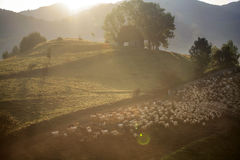 Heard of sheep in foggy morning in autumn mountains Stock Image