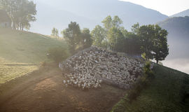 Heard of sheep in foggy morning in autumn mountains Stock Photography