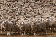 A heard of sheep in Patagonia. Argentina Stock Images