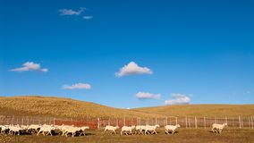 A heard of sheep in Patagonia Royalty Free Stock Images