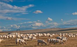 A heard of sheep in Patagonia. Argentina Royalty Free Stock Image