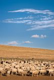 A heard of sheep in Patagonia. Argentina Royalty Free Stock Photo