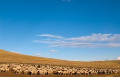 A heard of sheep in Patagonia Stock Images