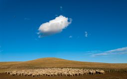 A heard of sheep in Patagonia. Argentina Stock Photo