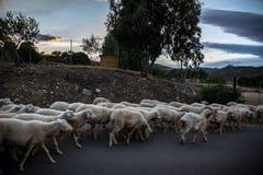 Heard of sheep Royalty Free Stock Image