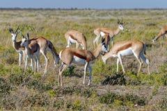A heard of springbok stand on the savanna of Etosha stock photography
