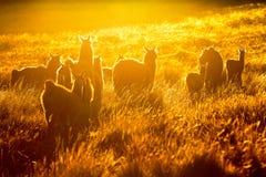 Heard Of Wild Lamas Backlit Royalty Free Stock Images