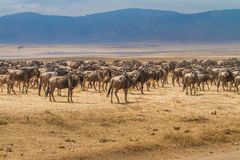 Thousands of wildebeests Royalty Free Stock Photography