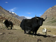 Heard of yaks. In himalaya mountains Royalty Free Stock Images