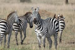 Heard of zebras Royalty Free Stock Image