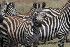 Heard of zebras Stock Photography