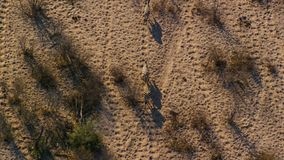 A heard of Zebras crosses the savanna as seen from aerial view stock images