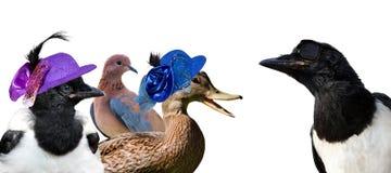 Heardbreaking, pie de regard fraîche flirte avec trois Madame Birds Photos libres de droits