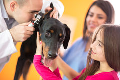 Hearing checkup of Great Done dog in vet infirmary. Hearing checkup of Great Done dog by veterinarians in vet infirmary Stock Photo