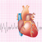 Heart. Illustration of human heart with ecg ekg background Royalty Free Stock Photos