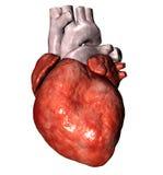 Heart. Human heart on white ;3d render royalty free illustration