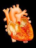 Heart. Detailed heart illustration on black background Royalty Free Stock Image