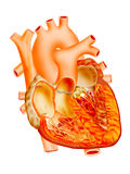 Heart. Detailed heart illustration on isolate background Stock Images