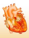 Heart. Detailed heart illustration on orange gradient background Stock Images