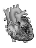 Heart. Detailed black & white heart illustration on isolate background Stock Photo