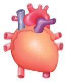 Heart. Illustration of human internal body Royalty Free Stock Photo