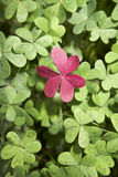 Heart. Shaped clover in red stock photos