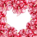 Heart amaryllis frame. Frame like as heart shape with watercolor image of red flowers of amaryllis on white background Royalty Free Stock Image