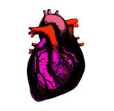 Heart anatomical illustration. Anatomical human heart color illustration Stock Photo