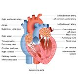 Heart Anatomy Royalty Free Stock Photography