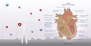 Heart anatomy and ecg Stock Photos