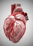 Heart - Anatomy of Human Heart Isolated on white Royalty Free Stock Photos