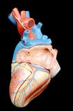 Heart. Anatomy of human heart model royalty free stock photos
