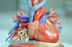 Heart. Anatomy of human heart  model Stock Image