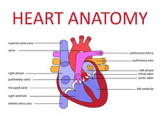 Heart anatomy. Human heart anatomy schematic diagram. vector illustration Stock Image