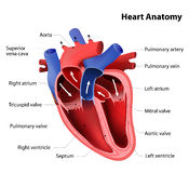 Heart anatomy. Part of the human heart Stock Photography