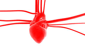Heart with arteries and veins Stock Image