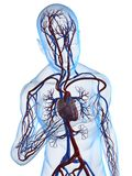 Heart attack. 3d rendered illustration of a transparent body with vascular system Royalty Free Stock Image