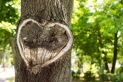 Heart in the bark of a tree.Tree with heart shape. Heart wooden cut texture Stock Photo