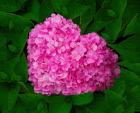 Heart beautiful pink flower. Heart beautiful pink flower middle green leaf Royalty Free Stock Photo