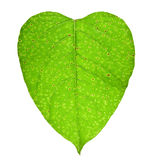 Heart with blood clots. Of vessels concept. Sick green leaf of a plant isolated stock image