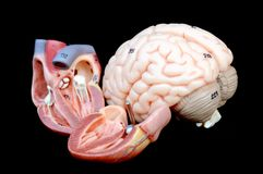 Heart and brain Stock Photo
