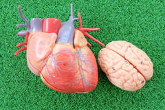Heart and brain. Human heart and brain anatomy model stock photography