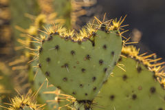 Heart Cactus Stock Photography